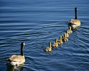 una papera è il leader dei suoi anatroccoli (esempio di vero capo per le risorse umane) nel people management la leadership è fondamentale